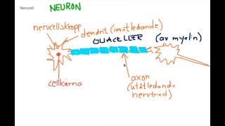 Nervsystemet introduktion