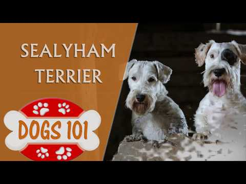 Dogs 101 - SEALYHAM TERRIER - Top Dog Facts About the Sealyham Terrier