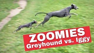 ITALIAN GREYHOUND vs. GREYHOUND  Running Full Speed
