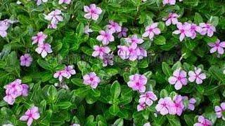 How to grow Periwinkle/Sadabahar/Nitya Kalyani/Poovali/Nayantara/Vinca plant (Hindi /Urdu)