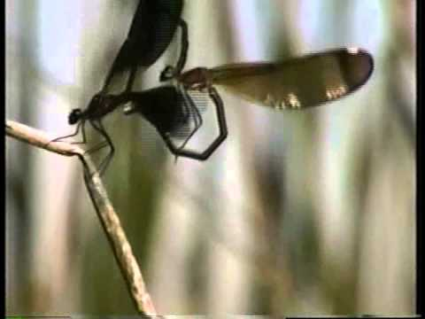 Two Worlds of Dragonflies - Damselfly mating behavior and sperm removal.  Part 1.
