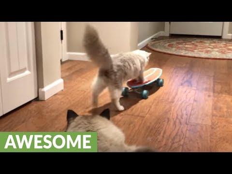 Ragdoll cat flawlessly rides skateboard