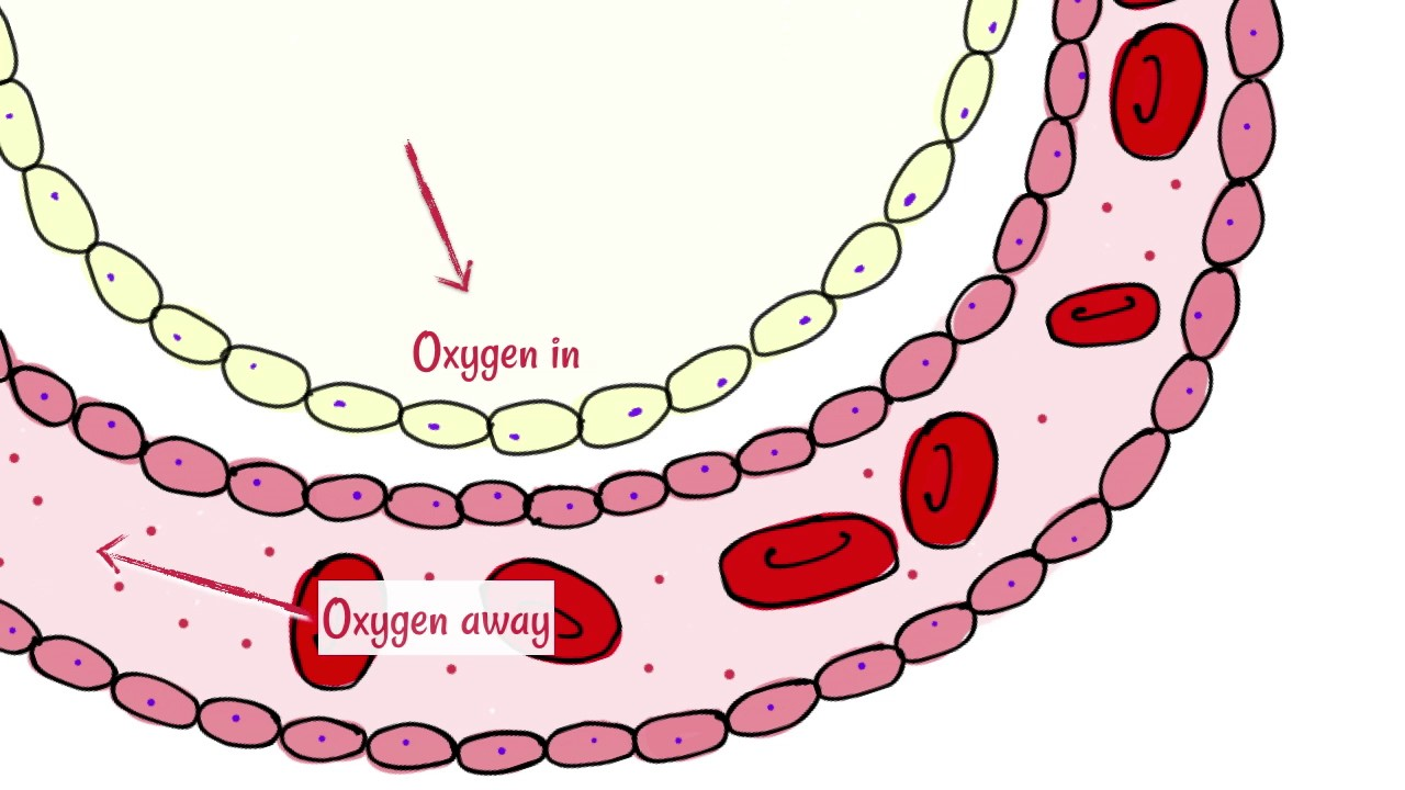 alveoli: gas exchange
