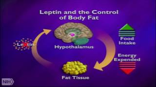 Leptin and the neural circuit regulation food intake and glucose metabolism