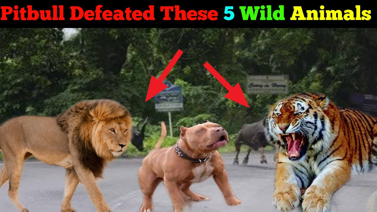 Pitbull Defeated These 5 Wild Animal in past Fight  [in Hindi] | pitbull vs wild animal Real Fight