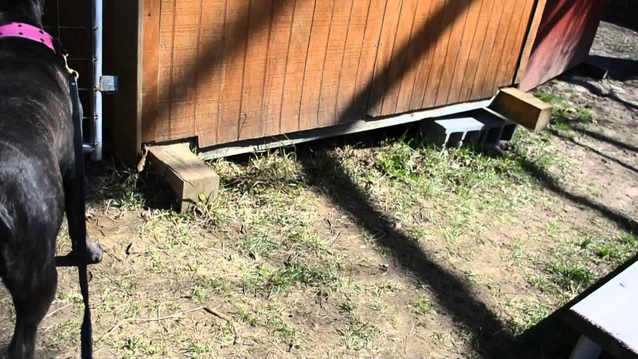 R Goats Good Pets CANE CORSO ITALIAN MAS...