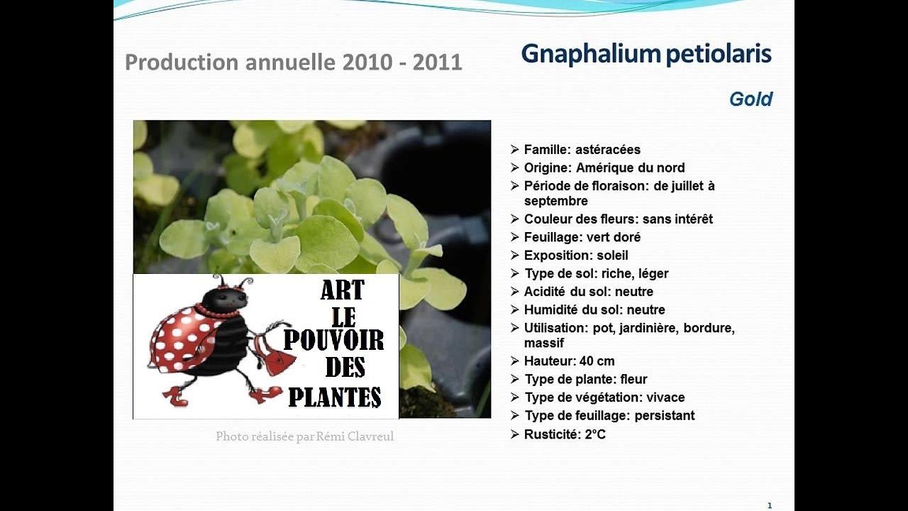 Conseils jardinage gnaphalium petiolaris gold fiche for Technique jardinage
