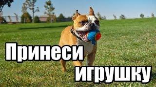 Как научить собаку приносить игрушку. Как научить собаку приносить предметы.