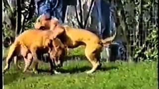 La leggenda PITBULL il cane killer