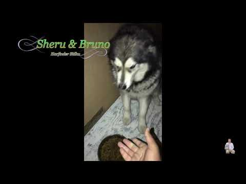Alaskan Malamute Sheru Shaking Hand | Alaskan Malamute Playing Around