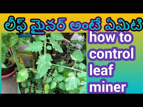 how to control leaf miner