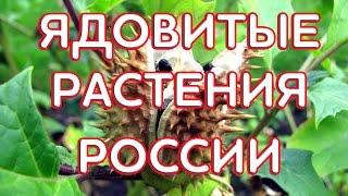 Ядовитые растения России.