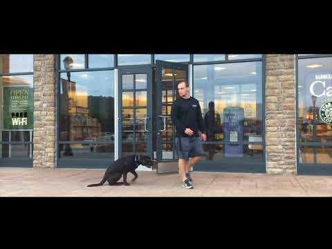 11 month old Labrador, Scout     Bethlehem Dog Trainers: Off Leash K9 Training