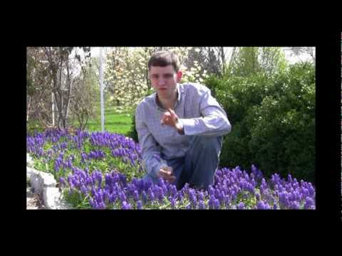 Grape Hyacinth Planting and Care Tips Video