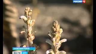 На Дону вывели новый устойчивый к заразихе сорт подсолнечник