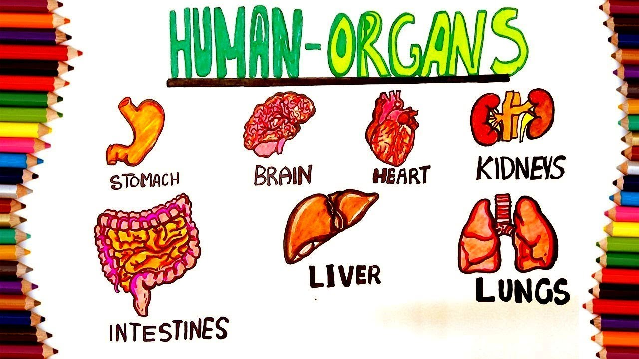 HOW TO DRAW HUMAN INTERNAL ORGANS FOR KIDS - YouTube