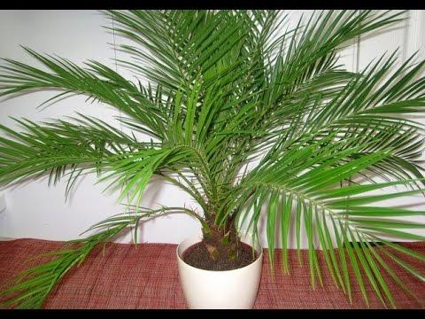 Комнатная финиковая пальма – уход, пересадка, болезни