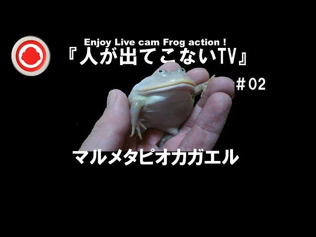 『人が出てこないTV』   #02         マルメタピオカガエル