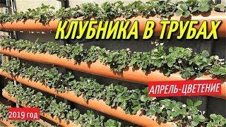 КЛУБНИКА В ТРУБАХ/Весна-цветение клубники в грядках из трубы.