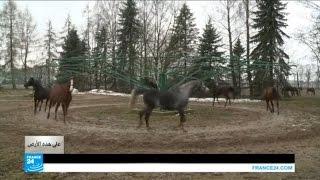 بولندا: موطن الخيول العربية الأصيلة!