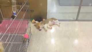 Welsh Corgi In Korea Pet Shop, Lotte Departmentstore, Jamsil