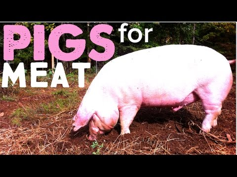 How To Raise Pigs For Meat On The Homestead