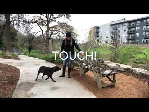 "lab-mix-""delilah""-|-amazing-transformation-|-san-antonio-dog-trainers"