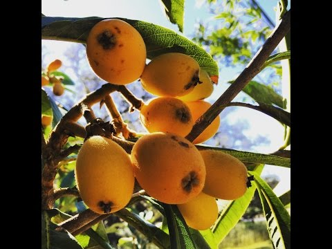 Delicious grafted LOQUATS: This tree is a beauty in the food forest!