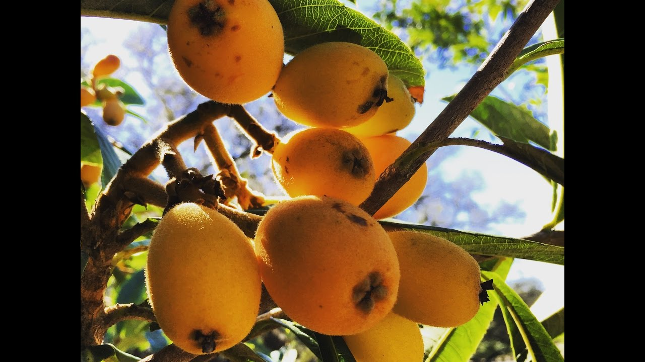 Delicious grafted LOQUATS: This tree is a beauty in the food forest ...