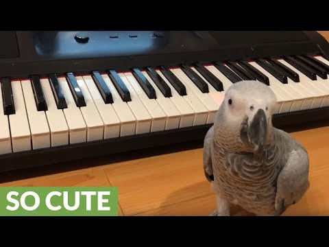 Parrot plays 'Happy Birthday' song on piano