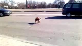 сумасшедшая собака.mp4