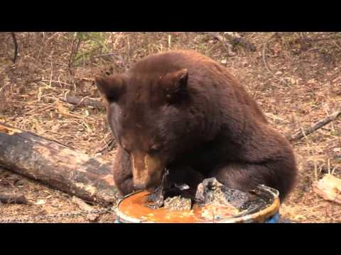 Incredible Chocolate Phase Black Bear Hunt In Northern Saskatchewan Part 1 - Lucky Number Seven