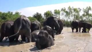 Surin Elephants Bathing in the River for the First Time
