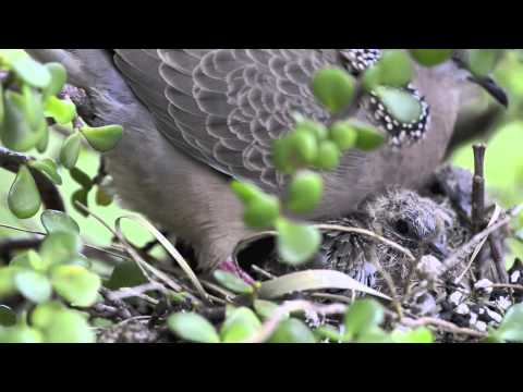 Spotted dove nesting