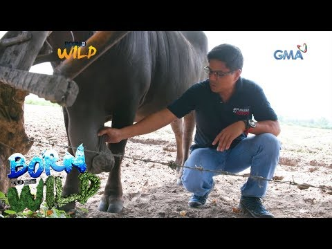 Born to Be Wild: Carabaos suffer from a mysterious lump