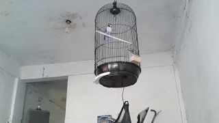 Aneh Kicau Burung Bunyi Ketok Palu