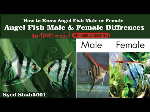 Angelfish Male Female difference #Angelfishgender
