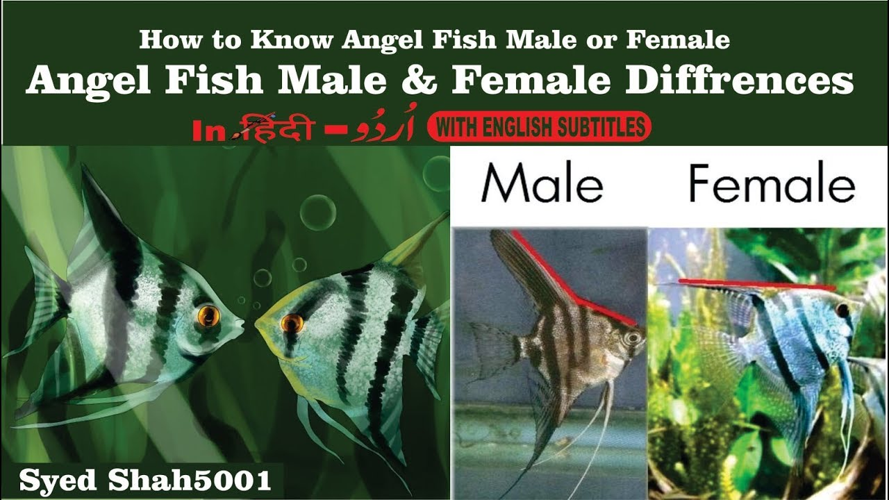 Angel Fish Male Female How To Tell The Difference Between -6121