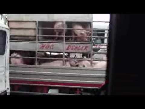 Hog or Pig Dealer Delivery in Manila