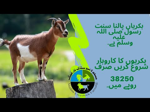 How to start a business of goat farming with 38,250 Rs.