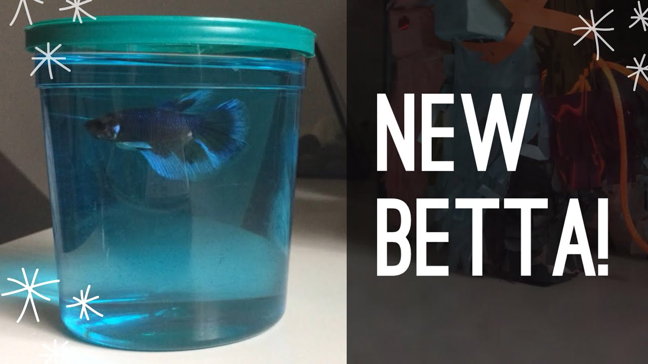 New betta fish youtube for H m fish count