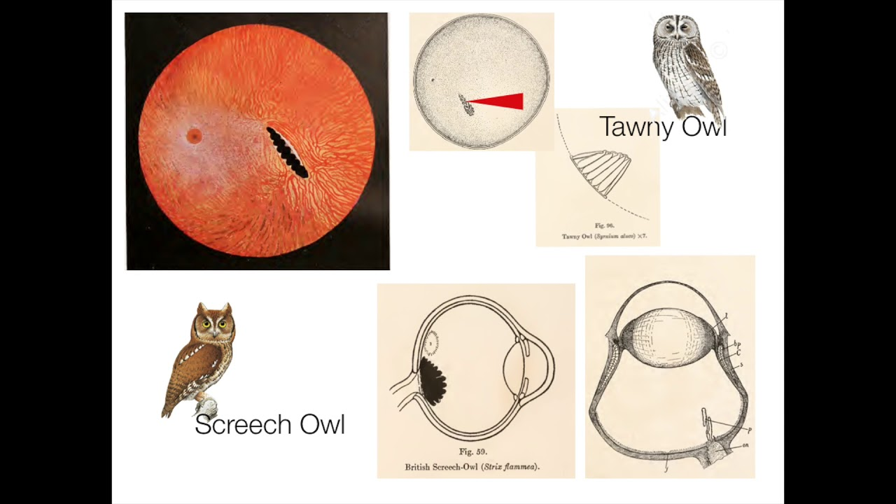 Casey Wood and The Fundus Oculi of Birds - YouTube