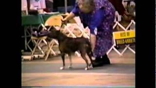 American Staffordshire Terrier -best Of Breed Judging Tampa, Florida July 1997- Show 2