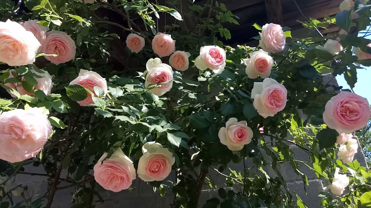 Картинки по запросу эден роуз