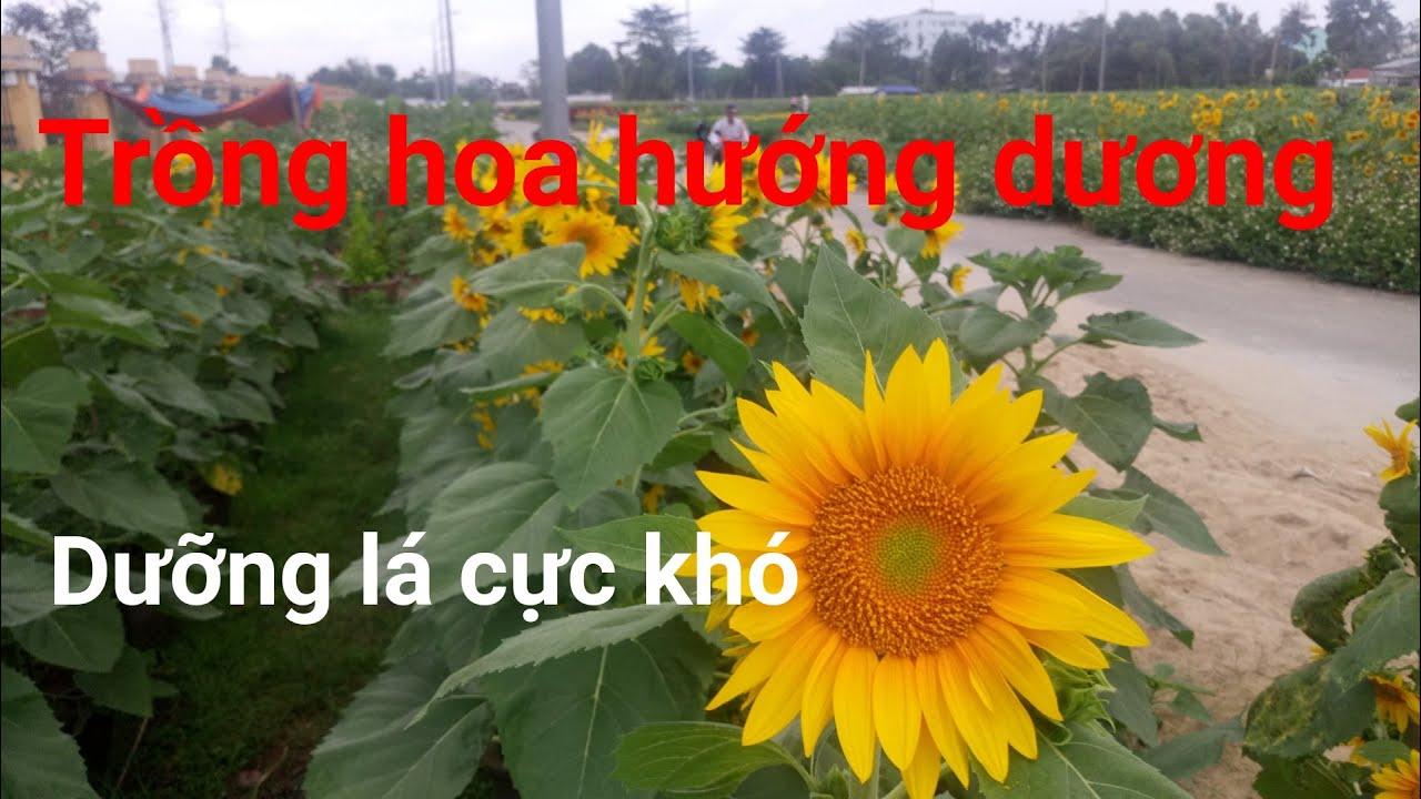 Trồng hoa hướng dương rất khó dưỡng lá