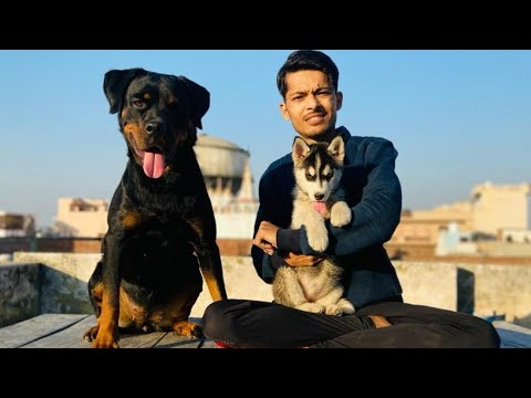 Rottweiler Vs Husky || Can Be Good Friends || Epic REACTION 😳 || ROXY || Cheeni || Review reloaded
