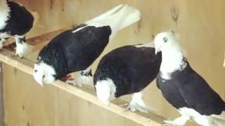 Бойные голуби(, 2014-09-26T12:32:09.000Z)