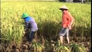 видео Выращивание риса