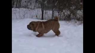 Sharpei Is An Adult Male Dog For Exhibitions And Breeding. Sale.