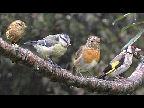 Birds in The Summer Rain : With Beautiful Bird Sounds & Song